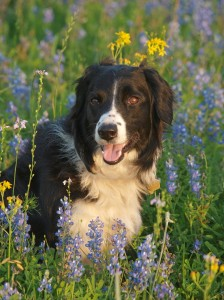 Blisswood border collie Lady