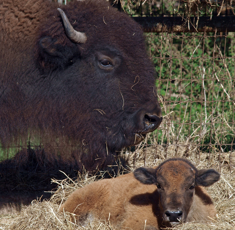 Buffy the Baby Bison Born at BlissWood