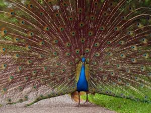 Peacock at a Texas Ranch