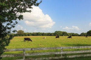 Cattle on a Texas Ranch