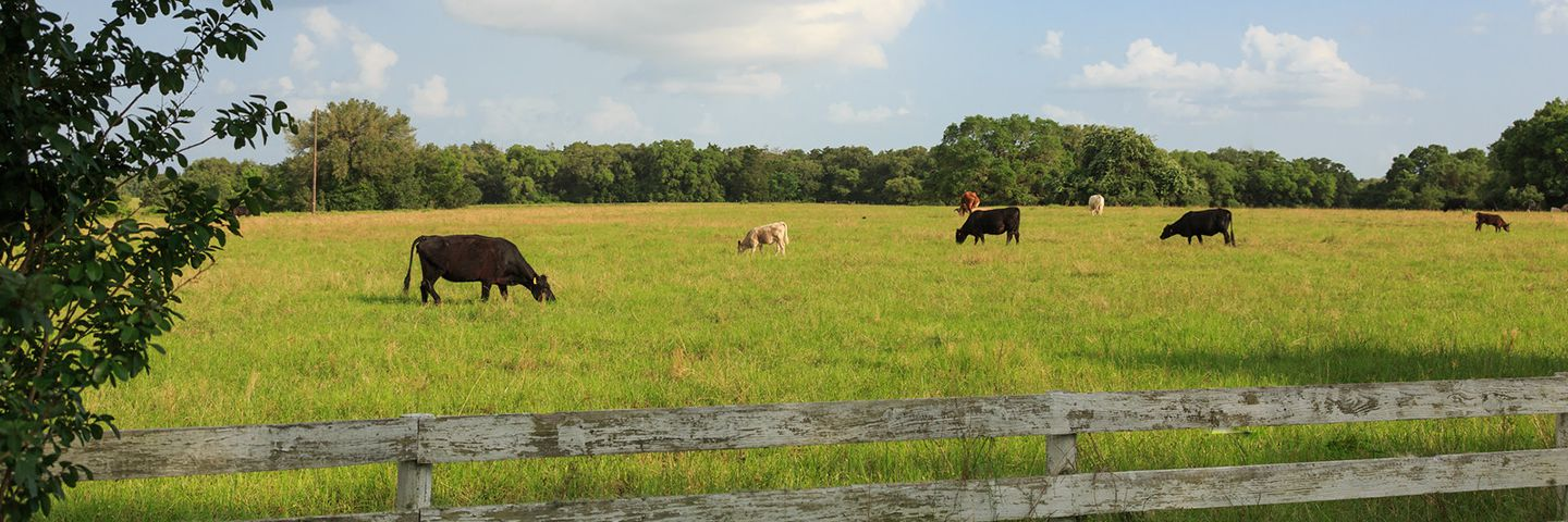 Cows Grazing on a Texas Vacation Ranch