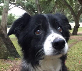 foster-border-collies