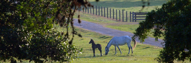 Texas Ranch Horses