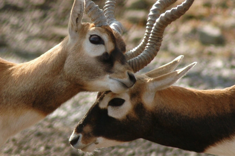 Two black buck antelopes knockings horns