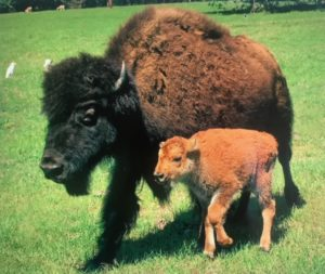 A Bison and her calf at Blisswood Bed and Breakfast