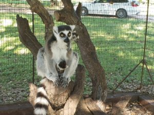 Lemurs at Texas ranch and inn