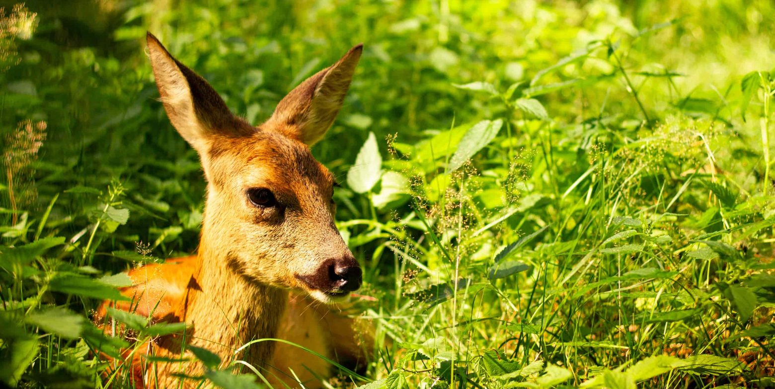 baby Fallow deer in green grass