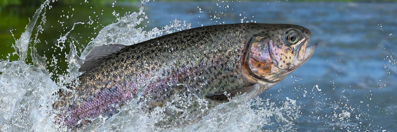 Rainbow trout splashing in water