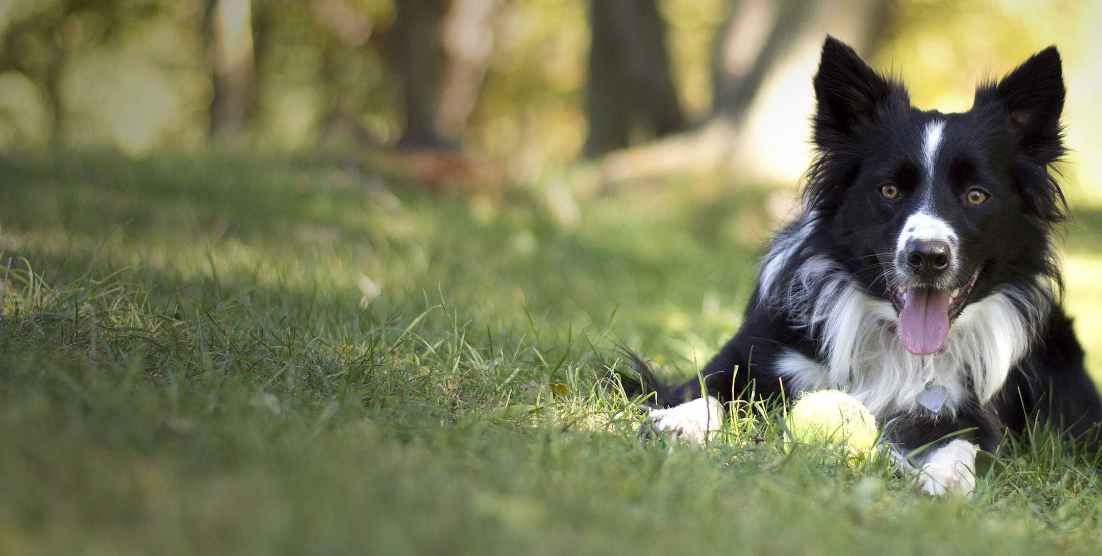 Border Collie with a ball in a field