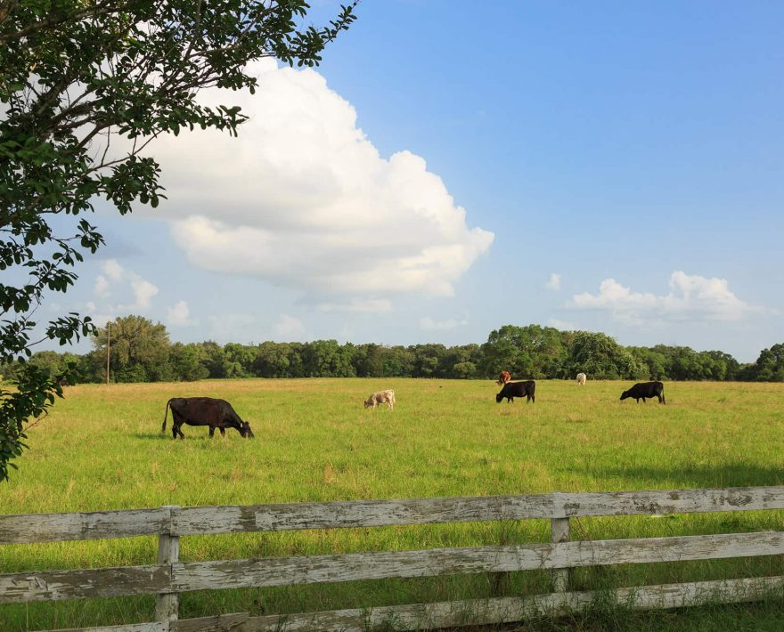 Grazing cattle on a sunny day at BlissWood Ranch