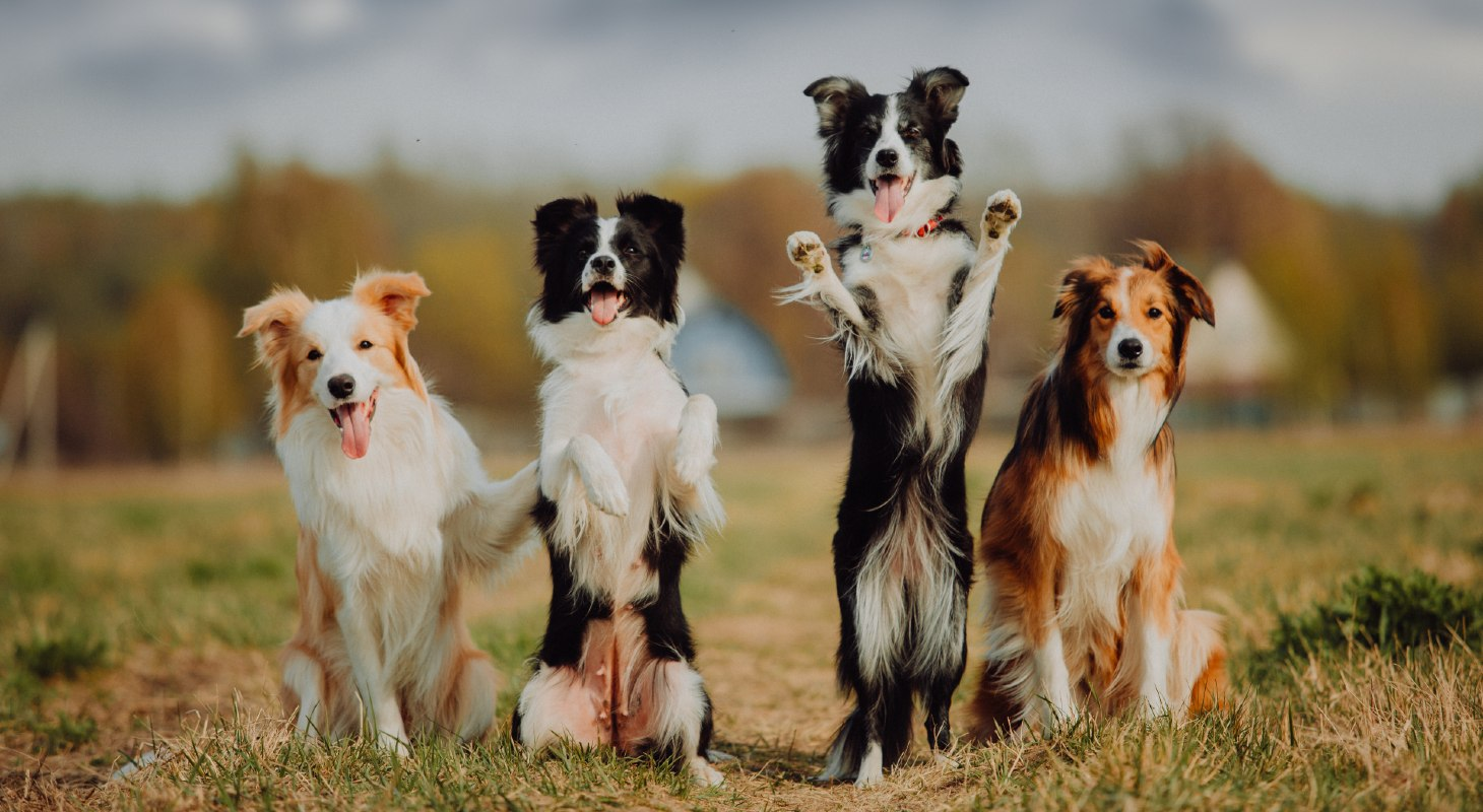 group of border collies outside