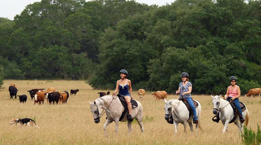 Women horseback riding in Texas near cows